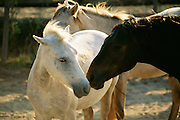 France, Provence, La Camargue, Horses in corral.