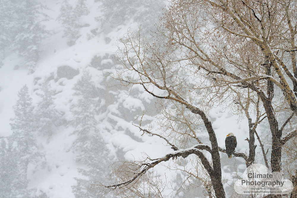 Bald Eagle, near Crested Butte, CO.
