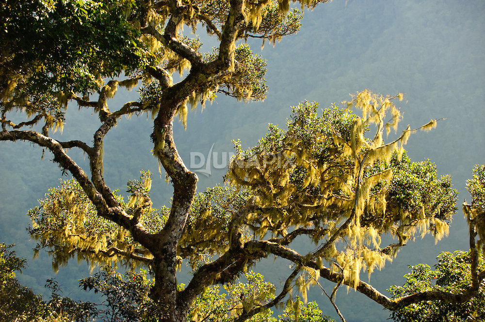 Lichen-covered tree on high mountain slope along the trek to Wae Rebo.