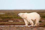 CANADA, Nunavut.Polar bear (Ursus maritimus)