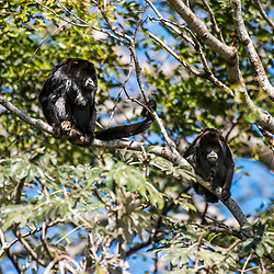 """Bugio-preto (Alouatta caraya) fotografado em Corumbá, Mato Grosso do Sul. Bioma Pantanal. Registro feito em 2017.<br /> <br /> <br /> <br /> ENGLISH: Black howler monkey photographed in Corumbá, Mato Grosso do Sul. Pantanal Biome. Picture made in 2017."""