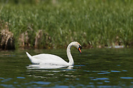 A mute swan swims through calm water in a wetland, Kingston, Ontario, Canada.