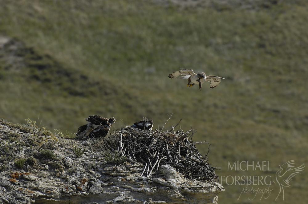 Box Butte County, Nebraska..Ferruginous hawk delivered prey (thirteen-lined groundsquirrel) to chicks at nest.
