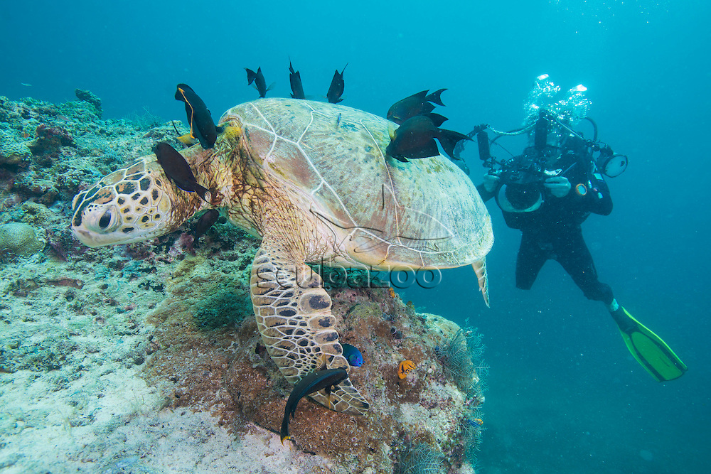 Photographer taking a picture of a Green Turtle, Chelonia mydas, being cleaned by Lined Bristletooths, Ctenochaetus striatus,  Mabul Island, Sabah, Malaysia, Borneo, South China Sea,
