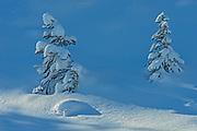 Saplings covered in snow, Kootenay National Park, British Columbia, Canada