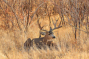 A large drop-tine mule deer buck in open grassland habitat