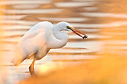 A Great Egret with catch through the fall foliage along the shore.