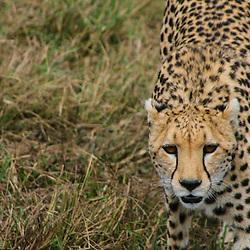 Cheetah walks the flatlands of Masai mara National park, Kenya.