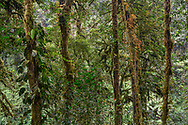 Bemooste Bäume mit vielen Epiphyten im Bergregenwald, Nyungwe Forest National Park, Ruanda<br /> <br /> Mossy trees with many epiphytes in the montane rain forest, Nyungwe Forest National Park, Rwanda