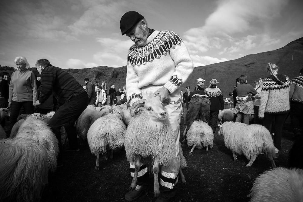 The annual, sheep roundup at Iceland