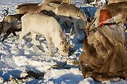 Tromso, Norway - March 28, 2011: Unidentified Saami man feeds arctic reindeers in deep snow winter in Tromso region, Northern Norway.