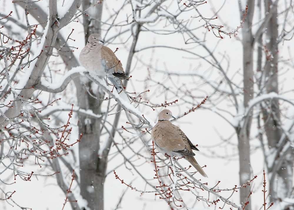 Eurasian collared doves huddle down during a snow fall, Missoula, Montana