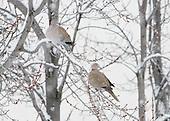 Pigeon & Dove