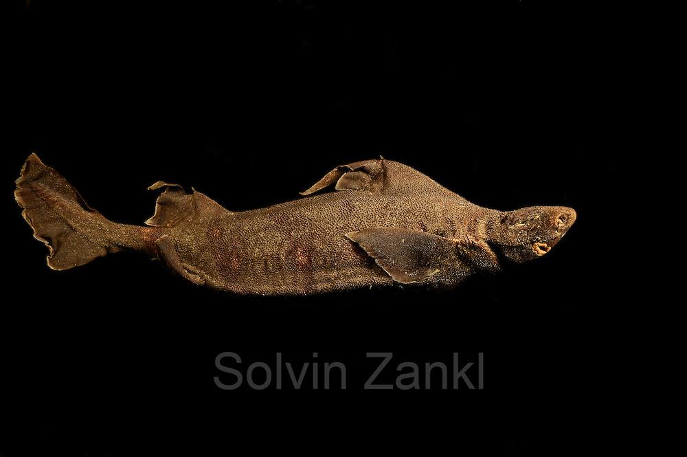Roughshark (Oxynotus paradoxus) Picture was taken in cooperation with the Zoological Museum University of Hamburg | Meersau (Oxynotus paradoxus) Das Bild entstand in Zusammenarbeit mit dem Zoologischen Museum Hamburg (ZMH); ZMH 112236 (ISH 128-1974); 27.05.1974; 14°0-9'W, 53°40-37'N; Trawl survey Walther Herwig, 310/74, 200'-BT; 412 m
