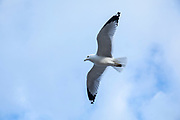 Close up underside of wings and feathers of Ring-billed gull, Larus delawarensis, soaring, in lone flight at Cape Cod, USA