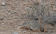 Kenya, Samburu National Reserve, Kenya, Gunther's long snouted Dik-dik (Mandoqua guntheri) the smallest antelope