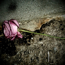 A fallen rose is discarded in the dirt.