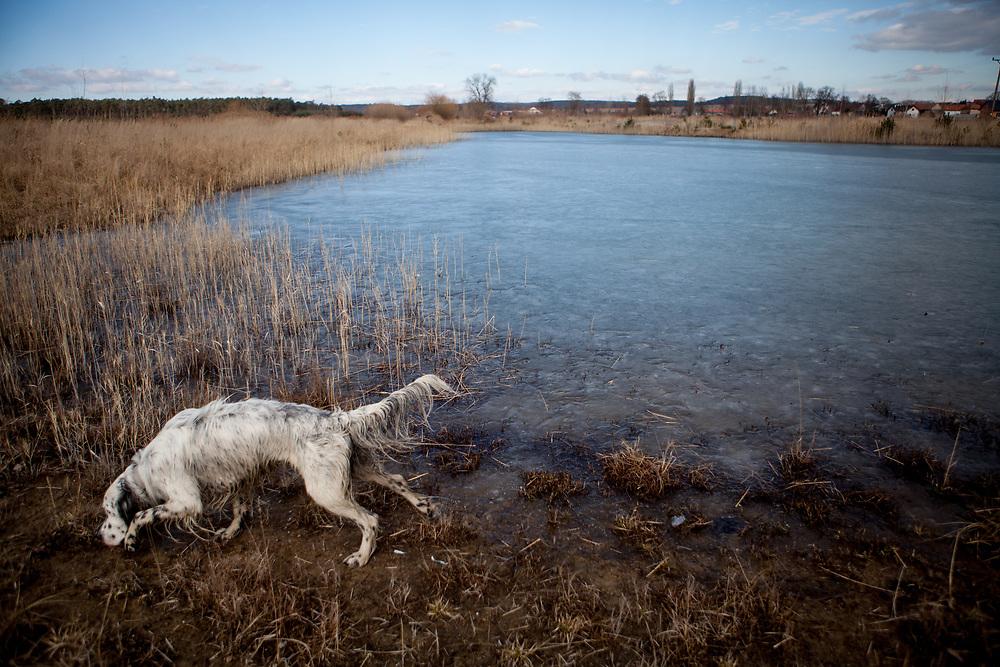 """English Setter """"Rudy"""" läuft am 09.03. 2018 am Rand von seinem gefrorenen Teich in Stara Lysa, (Tschechische Republik).  Rudy wurde Anfang Januar 2017 geboren und ist vor ungefähr einem Jahr zu seiner neuen Familie umgezogen."""
