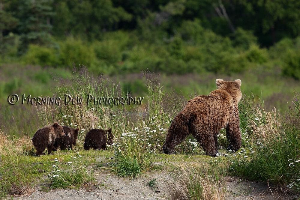 Spring cubs follow thier mother along the shore of Brooks River, Katmai National Park, Alaska