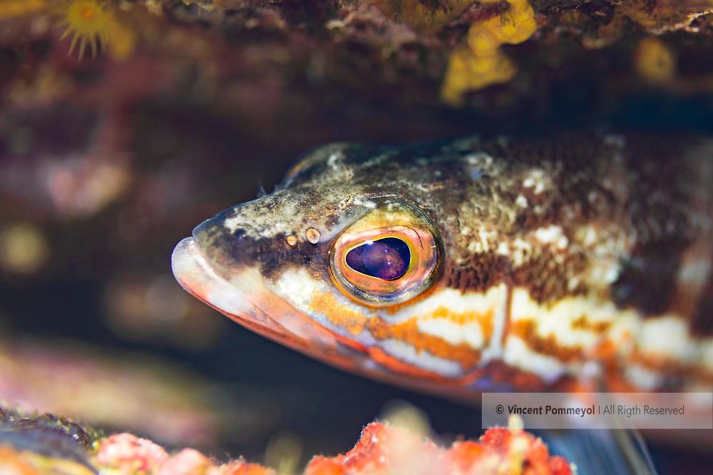 Comber fish-Serran chèvre (Serranus cabrilla) of Mediterranean sea.
