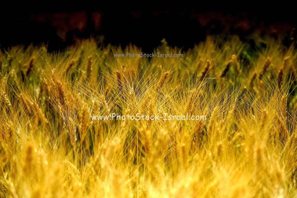 Ripe, Golden wheat stalks in a field before harvest