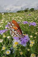 Gulf Fritillary Butterfly, Agraulis vanillae;<br /> Photographer:  Robert Rommel <br /> Property:  Sick Dog Ranch / Mitchell &amp; Dianne Dale, Michael Dale<br /> Jim Wells County