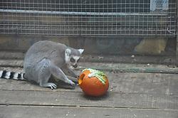 November 1, 2018 - Xining, Xining, China - Xining,CHINA-Animals 'enjoy' Halloween at Xining Wildlife Zoo in Xining, northwest China's Qinghai Province. (Credit Image: © SIPA Asia via ZUMA Wire)