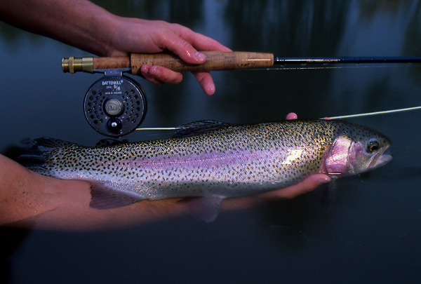 Stock photo of rainbow trout Oncorhyncus mykiss caught on fly rod being released back to the river.