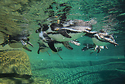 Humboldt penguins (Spheniscus humboldti), a vulnerable species of South American penguin, swimming in the tank in the Zone Patagonie of the new Parc Zoologique de Paris or Zoo de Vincennes, (Zoological Gardens of Paris or Vincennes Zoo), which reopened April 2014, part of the Musee National d'Histoire Naturelle (National Museum of Natural History), 12th arrondissement, Paris, France. Picture by Manuel Cohen