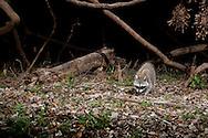 Northern Raccoon (Procyon lotor)<br /> TEXAS: Travis Co.<br /> Brackenridge Field Laboratory; Austin<br /> 8-March-2011<br /> J.C. Abbott