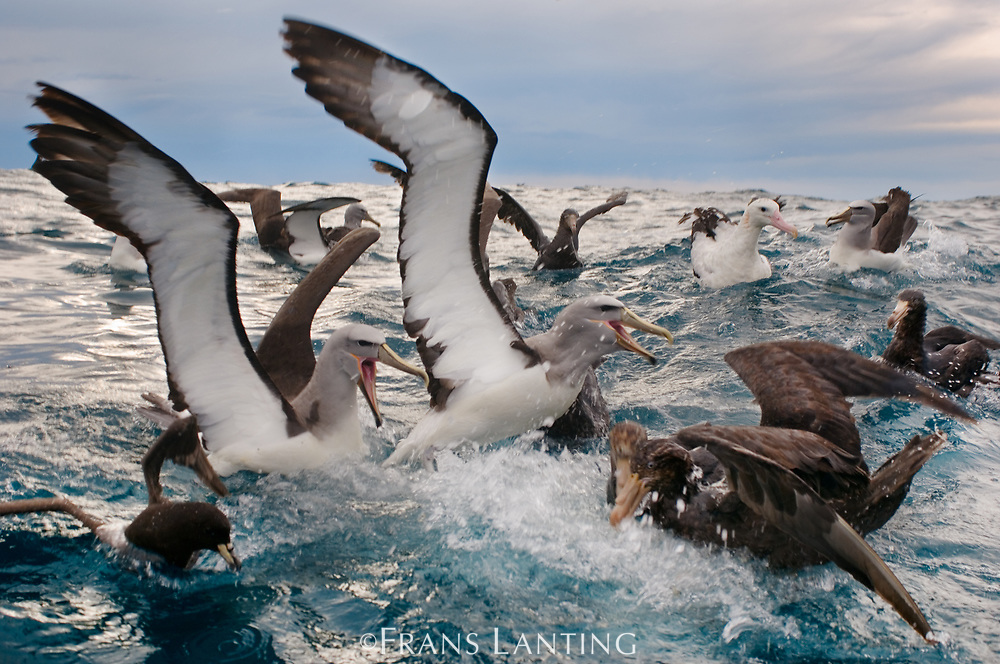 Salvin's albatrosses fighting over food with other seabirds, Kaikoura, New Zealand