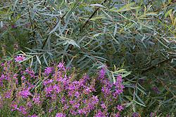 Salix purpurea 'Nancy Saunders' with Lythrum virgatum