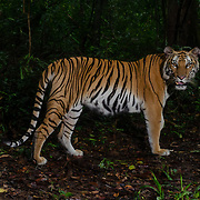 The Indochinese tiger (Panthera tigris corbetti) is a tiger sub-species that ranges in Myanmar, Thailand, Lao PDR, Vietnam, Cambodia and southwestern China. It is approaching Critically Endangered status. The worldwide population is thought to comprise  of approx 350 individuals of which largest population unit survives in Thailand estimated at approx 200 individuals.