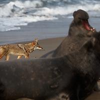 Coyote stalks an elephant seal rookery in Piedras Blancas, California