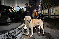 COMO, ITALY - 25 October 2013: A cash dog of Italy's Guardia di Finanza (Financial Police) is here before the inspection of a car suspected of hiding undeclared cash to smuggle into Switzerland on its way out of Como, Italy, at the border with Chiasso (Switzerland) on October 25th 2013. Cash dogs are sniffer dogs that have specially trained to detect the ink on currency notes. In the effort of cracking down on tax evasion and cash smuggling, the Guardia di Finanza works with highly trained dogs in outposts along its borders with Switzerland and France, and in international airports such as Rome Fiumicino and Milano Malpensa.<br /> <br /> In Italy, the law allows to travel with up to 10,000 euros in cash. Beyond that, one must declare to the authorities.<br /> <br /> In 2012, the Guardia di Finanza of the  borders with Chiasso in Switzerland have intercepted more than 55 million euros not declared. In 2013, until September 31st, they have intercepted more than 92 million euros.  The Guardia di Finanza of the Chiasso outpost has been using cash dogs since 2010.