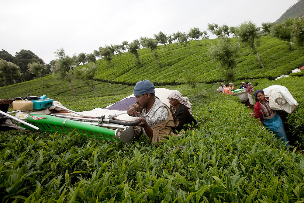 Workers use machines to pick tea leaves at a Tea estate in Conoor, India, on Friday May 21, 2010. Photographer: Prashanth Vishwanathan/Bloomberg News