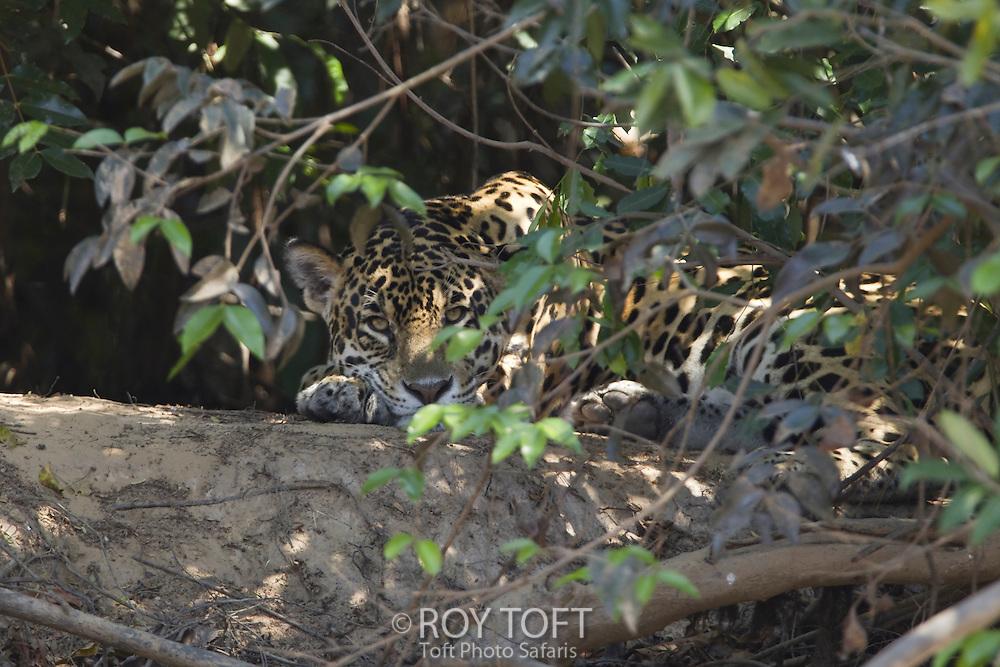 Wild Jaguar, Pantanal, Brazil