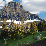 Big Horn Sheep, Logan's Pass, Glacier National Park, Montana.