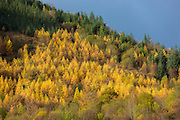 Larch trees in shades of autumn colour and conifers in coniferous forest plantation for timber production in the Brecon Beacons, Wales, UK