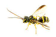 Wasp (Taeniogonalos gundlachii)<br /> United States: Alabama: Tuscaloosa Co.<br /> Tulip Tree Springs off Echola Rd.; Elrod<br /> 10-Oct-2017<br /> J.C. Abbott #3003