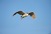 Black-crowned Night Heron (Nycticorax nycticorax) in flight over Lake Chapala, Jocotopec, Jalisco, Mexico