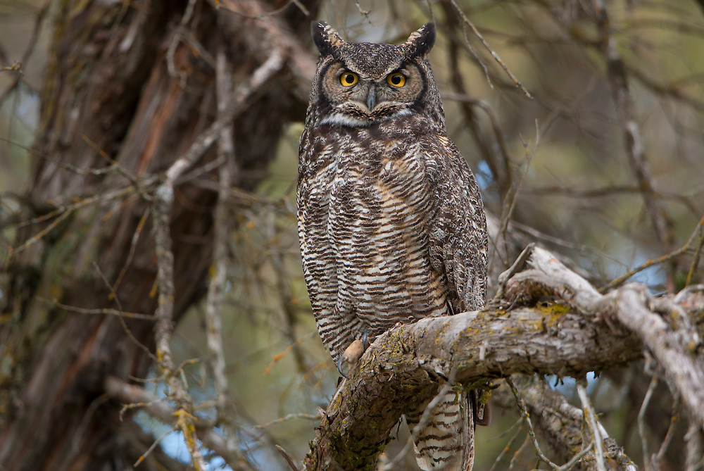 Perched Great Horned Owl, Montana