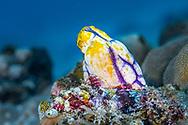 Ox heart ascidian-Ascidie tache d'encre (Polycarpa aurata), Bali island, Indonesia.