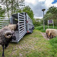 Nederland, Amsterdam, 9 mei 2017.<br />Jasper Groot van Gradient Natuurbeheer zet 10 schapen uit bij de Westertocht. Dat is een klein parkje aan het einde van de Kometensingel (tegenover 339) in Tuindorp Oostzaan. Tussen 11 en 11.30 uur komen daar tien schapen aan die het gras in de komende jaren kort moeten zien te houden.<br /><br /><br /><br />Foto: Jean-Pierre Jans