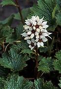 Bear Flower, Tundra, Wildflowers, white flower, flower, Denali National Park, Alaska