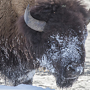 Snowy bison's face, covered as a result of searching for tender grass roots in the snow