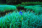 Camas in meadows along Glade Creek. Lewis and Clark and Nez Perce National Historic Trail in the Clearwater National Forest, Idaho
