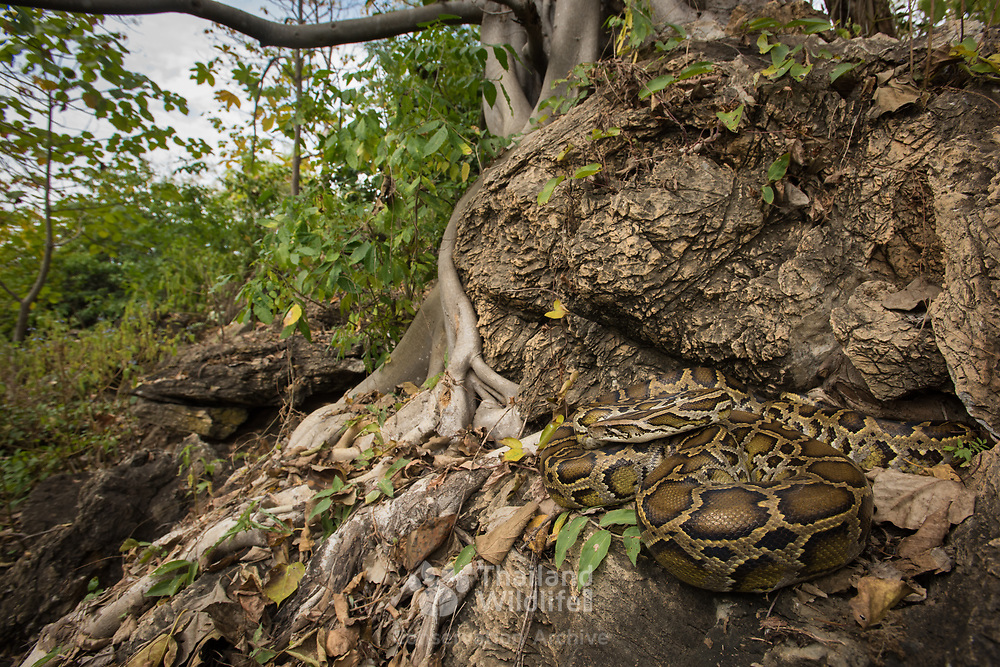 Burmese Python (Python bivittatus) in Kanchanaburi, Thailand
