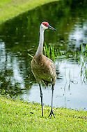 The sandhill crane (Antigone canadensis) is a species of large crane of North America and extreme northeastern Siberia. The common name of this bird refers to habitat like that at the Platte River, on the edge of Nebraska's Sandhills on the American Plains.