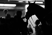 Groom prepare their horses for riding during the 2nd round of the Greenhawk Canadian Championship at The Royal Horse Show, TORONTO, CANADA.  November 5 2016